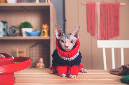 Sweater「Portrait of Sphynx cat on table wearing pullover」:スマホ壁紙(12)