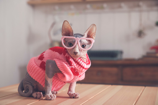 Sweater「Portrait of Sphynx cat on table wearing pink pullover and funny glasses」:スマホ壁紙(17)