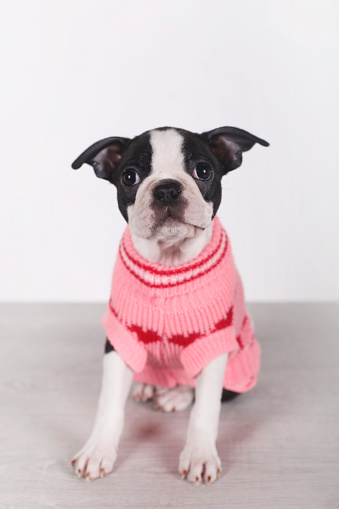 Sweater「Portrait of Boston terrier puppy wearing pink pullover」:スマホ壁紙(19)