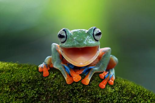 Mouth Open「Portrait of a Javan tree frog」:スマホ壁紙(9)