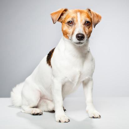 Animal Hair「Portrait of a Jack Russel Terrier」:スマホ壁紙(12)