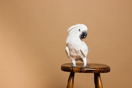 Sideways Glance「Portrait of a white crested cockatoo」:スマホ壁紙(7)