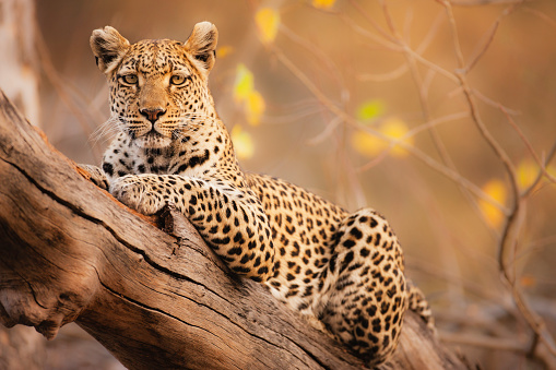 Big Cat「A portrait of a leopard resting in a tree」:スマホ壁紙(4)