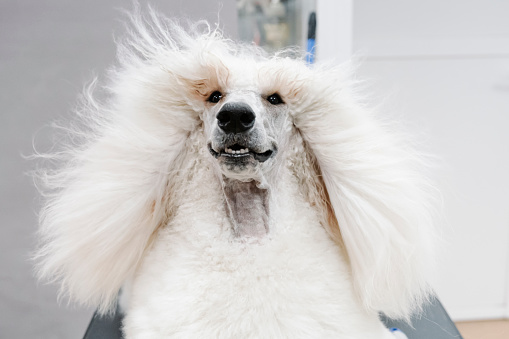 Long「Portrait of white Standard Poodle with blowing hair」:スマホ壁紙(2)