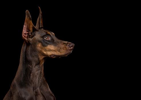 Doberman Pinscher「Portrait of alert dog」:スマホ壁紙(13)