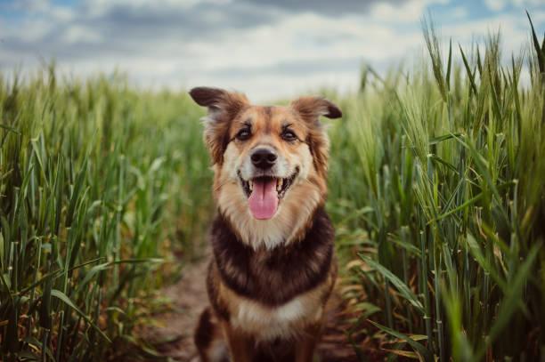 Portrait of dog in the cornfield:スマホ壁紙(壁紙.com)