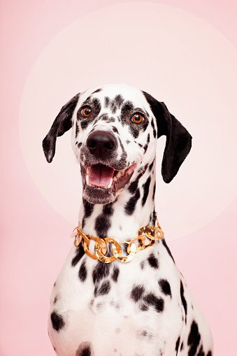 Mouth Open「Portrait of Dog on Pink with Necklace」:スマホ壁紙(16)