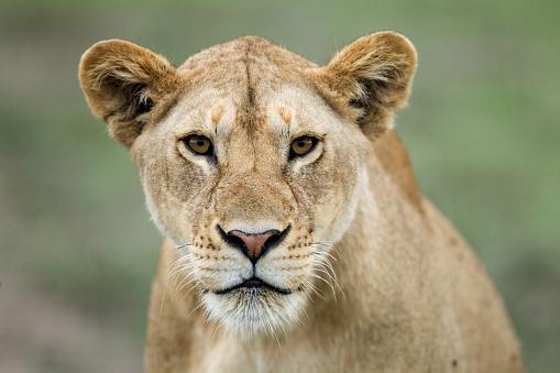 Lion - Feline「Portrait of Lioness」:スマホ壁紙(16)