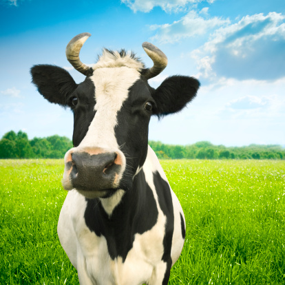 Horned「Portrait of cow on green idyllic pasture」:スマホ壁紙(6)