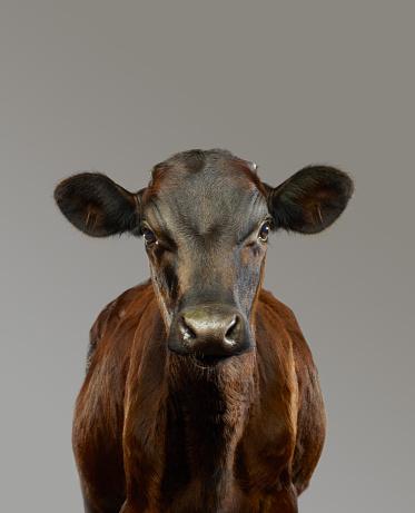 Cow「Portrait of a young Bull」:スマホ壁紙(2)