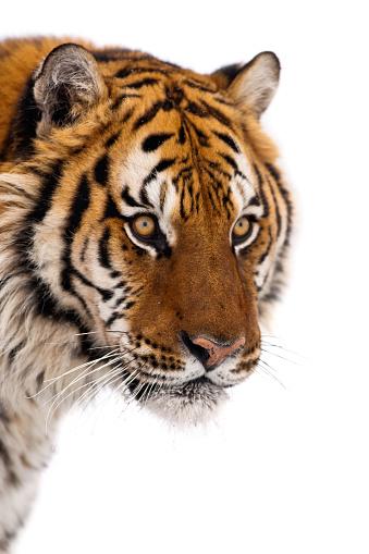 Tiger「Portrait of siberian tiger」:スマホ壁紙(4)