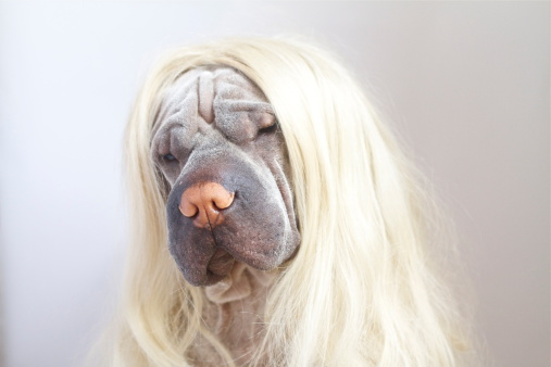 Long Hair「Portrait of a Shar pei dog wearing long blonde wig」:スマホ壁紙(18)