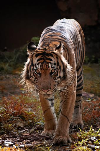 Tiger「Portrait of a Sumatran tiger」:スマホ壁紙(8)