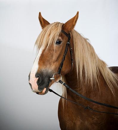 Horse「Portrait of a Schleswig Coldblood horse.」:スマホ壁紙(0)