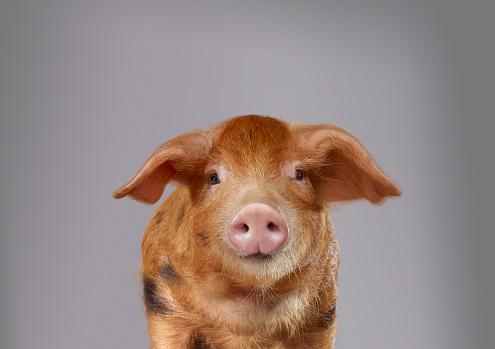 One Animal「Portrait of a pig」:スマホ壁紙(16)