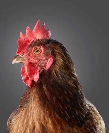 Animal Head「Portrait of a Hen」:スマホ壁紙(6)