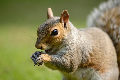 Eastern Gray Squirrel「Portrait of eating Grey squirrel, Sciurus carolinensis」:スマホ壁紙(10)
