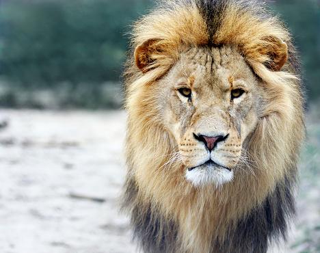 Male Animal「Portrait of a big male lion」:スマホ壁紙(17)