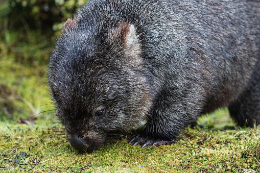 クレイドル山「Portrait of a Wombat Feeding」:スマホ壁紙(13)