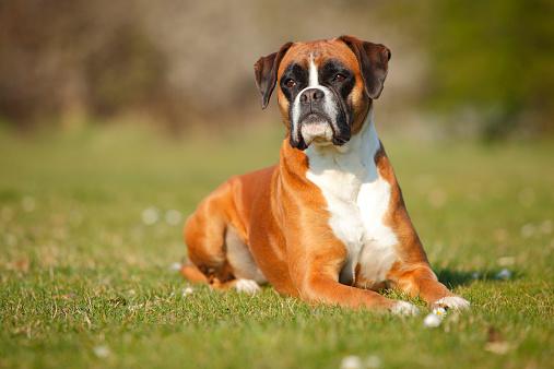 Boxer - Dog「Portrait of German Boxer lying on a meadow」:スマホ壁紙(5)