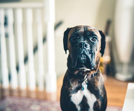 Boxer - Dog「Portrait of a young boxer dog」:スマホ壁紙(14)
