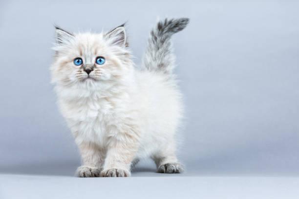 Portrait of Siberian kitten, studio shoot:スマホ壁紙(壁紙.com)