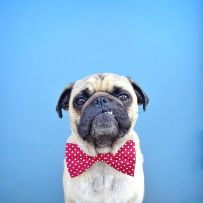 Colored Background「Portrait of a Pug dog wearing bow tie」:スマホ壁紙(17)