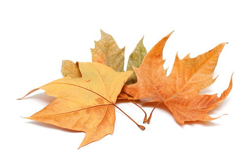かえでの葉「秋の落ち葉(XXL」:スマホ壁紙(17)