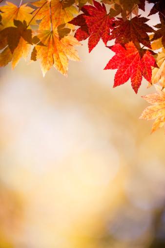 かえでの葉「秋の落ち葉」:スマホ壁紙(14)