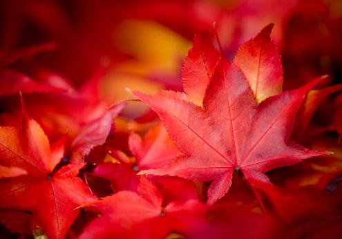かえでの葉「秋の落ち葉」:スマホ壁紙(6)