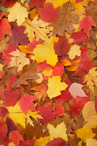 かえでの葉「秋の落ち葉」:スマホ壁紙(1)