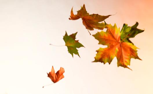 かえでの葉「Autumn leaves blowing in the wind」:スマホ壁紙(17)