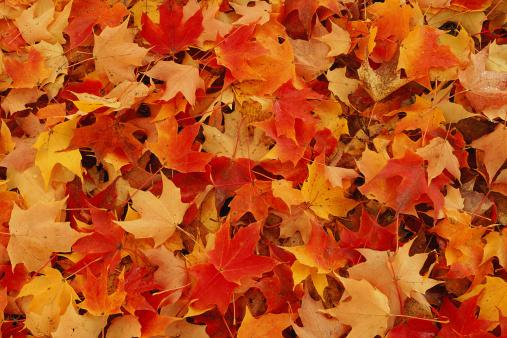 かえでの葉「Autumn leaves」:スマホ壁紙(6)