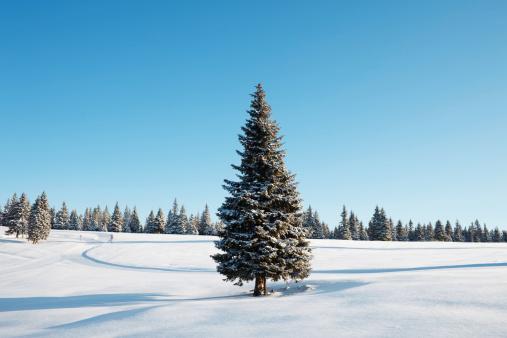 Spruce Tree「Winter Tree」:スマホ壁紙(8)
