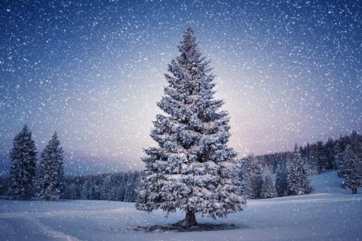 Pine Tree「Winter Tree」:スマホ壁紙(14)