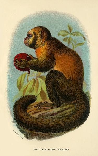 Tail「Smooth-Headed Capuchin」:写真・画像(9)[壁紙.com]