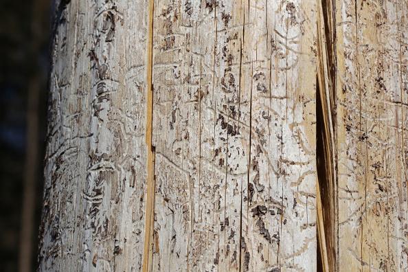 Plant Bark「As Summer Temperatures Rise Bark Beetle Infestations Intensify」:写真・画像(13)[壁紙.com]
