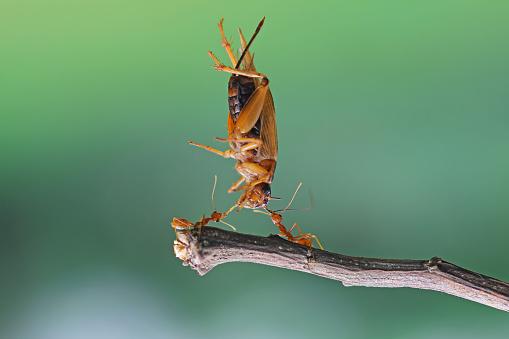 背景「Two ants carrying an insect, Indonesia」:スマホ壁紙(16)