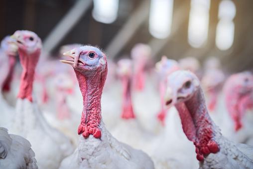 Animal Body「Premium poultry farming」:スマホ壁紙(5)