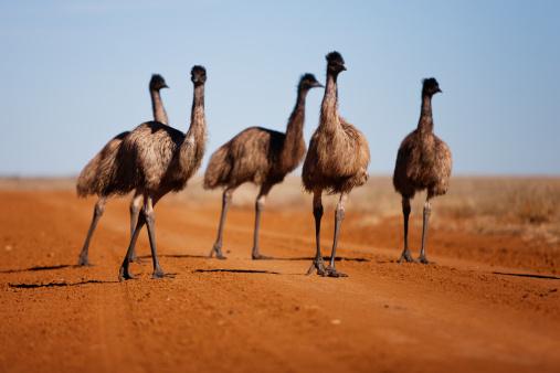 Walking「Grown emu chick walking with family group」:スマホ壁紙(6)