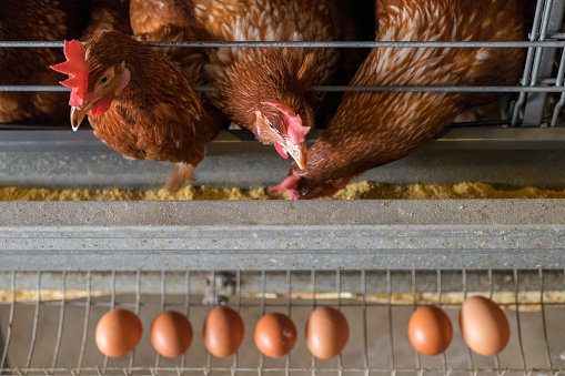 Chicken Meat「chicken and eggs」:スマホ壁紙(5)