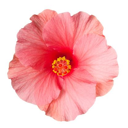 Tropical Flower「Hibiscus.」:スマホ壁紙(10)