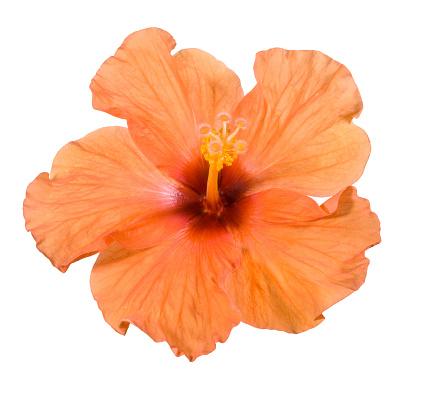 Tropical Flower「Hibiscus.」:スマホ壁紙(14)
