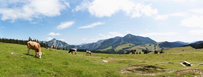 Cow「Austria, Cow grazing on alp pasture at Postalm」:スマホ壁紙(1)