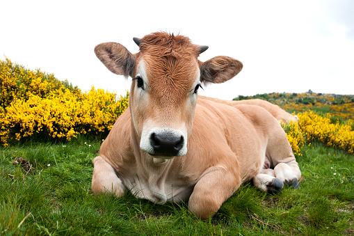 Horned「Aubrac cow with flowering broom in Mont Lozère - France」:スマホ壁紙(3)