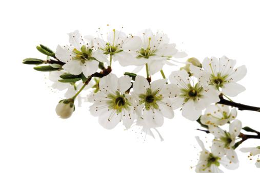 枝「Blossoms of whitethorn (Crataegus), close-up」:スマホ壁紙(8)