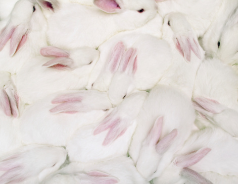 Animal Hair「Group of white rabbits (Oryctolagus cuniculus), overhead view」:スマホ壁紙(5)