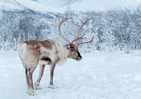reindeer「Reindeer standing in snowcovered wilderness of Troms County, Norway」:スマホ壁紙(8)