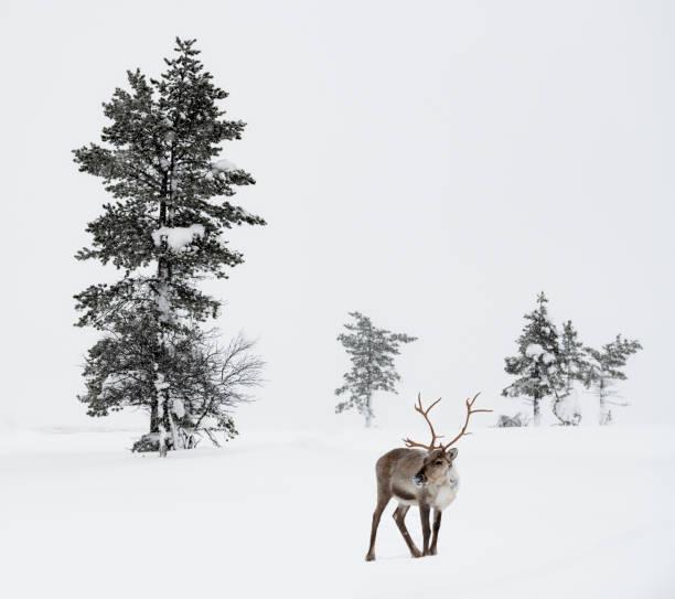 Reindeer standing in snow in winter landscape of Finnish Lapland, Finland:スマホ壁紙(壁紙.com)