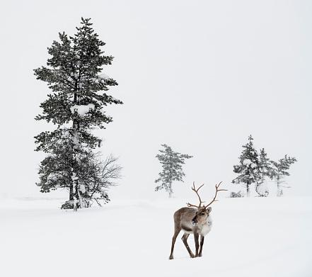 Swedish Culture「Reindeer standing in snow in winter landscape of Finnish Lapland, Finland」:スマホ壁紙(1)